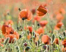 0111 Poppies 1