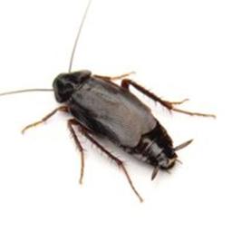 Cockroach Control Glasgow